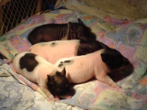 More Paige piglets sleeping!