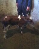 Wickford/calf1dayold.jpg
